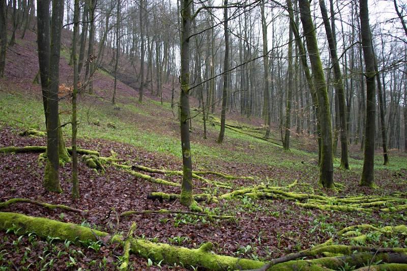 Bärlauch im Wald bei Detmold